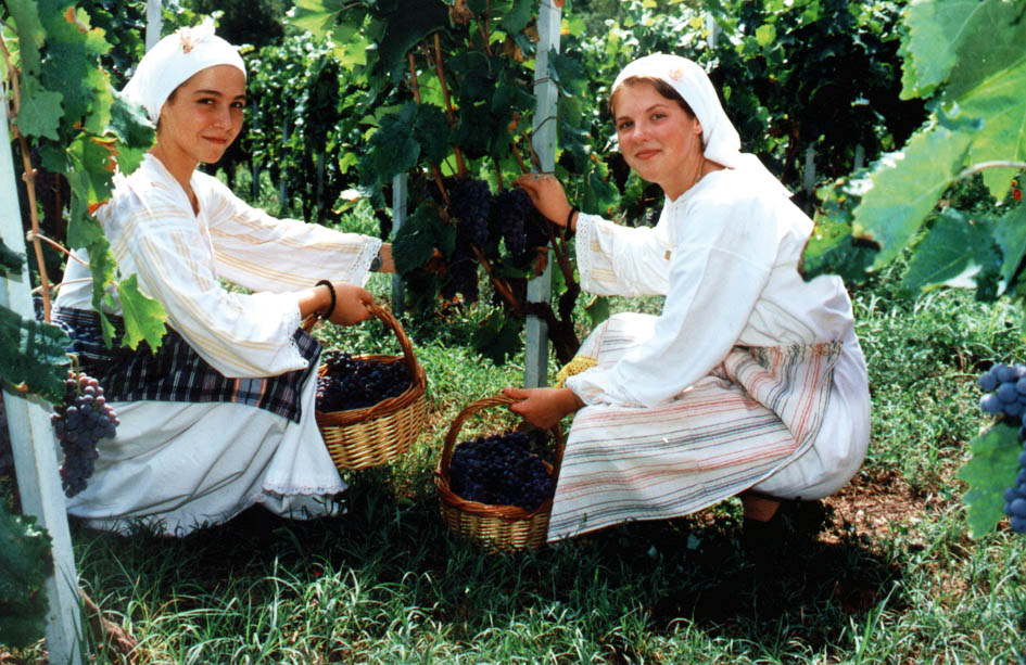 Traditional grape picking